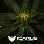 icarus digital marketing cannabis